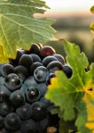 Pinot Noir Grape